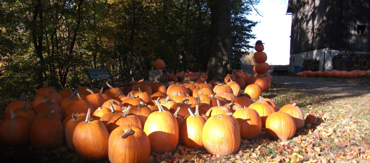 There are pumpkins to choose from at the barn.