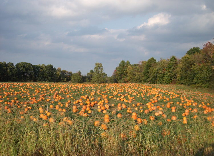 The pumpkin fields are rotated from year to year, but there are always thousands of pumpkins to choose from.