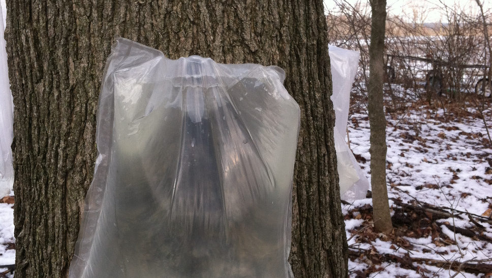 We currently use 3 gallon plastic bags to collect a large portion of our sap. The use of bags makes it impossible for rain to enter the sap and minimizes the possibility of insects climbing in.