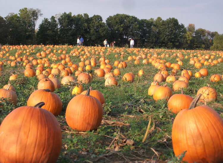 We Have Thousands of Beautiful Pumpkins