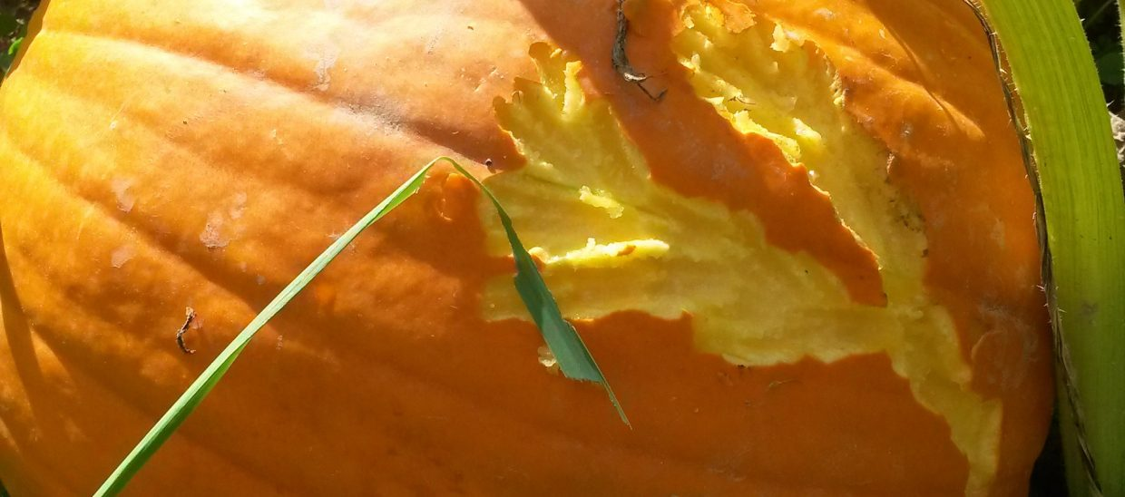 If the animal doesn't chew all the way to the inside, the pumpkin will continue to grow but with a scar.